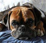 blærebetændelse hos hunde